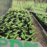 84 mil plantones de cacao a favor de 200 agricultores loretanos