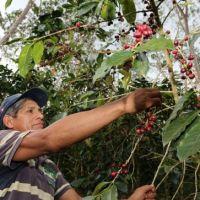 MINAGRI invirtió S/ 75.7 millones en potenciar a 12 mil productores cafetaleros