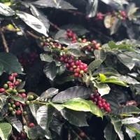 Productividad nacional del café no llega ni al 30% de su potencial